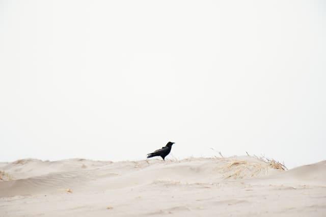 砂浜のカラス